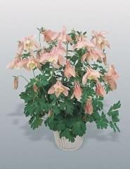 <hr>Akelei Spring Magic® Rosa &amp; Weiß <hr>Samen<hr>