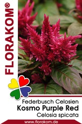 Federbusch Kosmo Purple Red - Celosien
